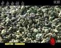 中国茶文化系列之中国名茶【安溪铁观音】