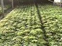 番茄种植技术视频教程06 (517播放)