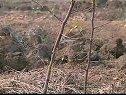 枣树的冬季整形修剪技术