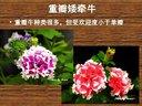 园林实业团草花栽培课ppt