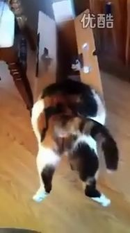 一只不知道自己体型的猫,笑尿了