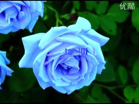 音乐 班得瑞 春天第一朵玫瑰
