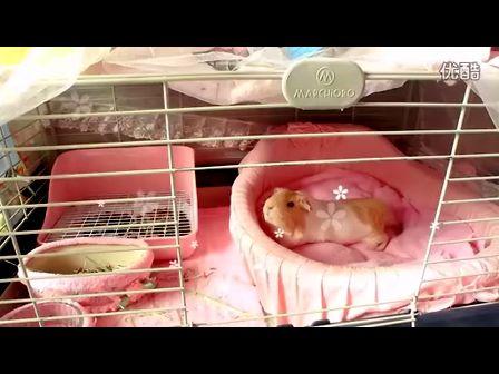 荷兰猪【小可爱】&【小叮当】的幸福生活