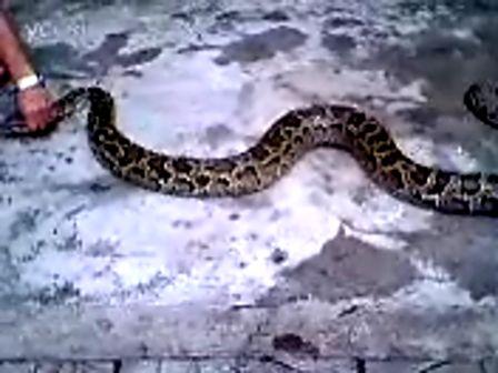 蟒蛇是几级保护动物