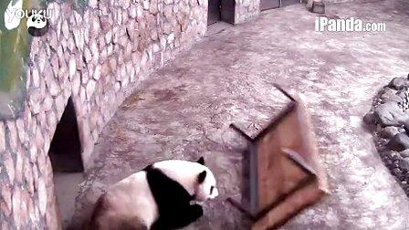 顽皮熊猫爱翻滚苦了木床君